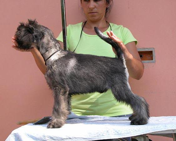 Zwergschnauzer Schwarz Silber Hundewelpen Bzw Junghunde Zu Vergeben